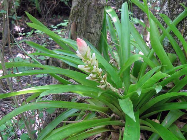 Гузмания одноколосая (Guzmania monostachia)