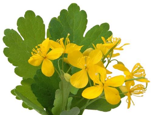 Чистотел - уникальное растение, обладающее целебными свойствами