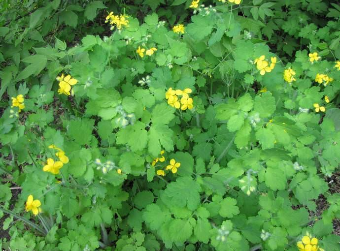 Для использования в лечебных целях используется преимущественно трава растения, которую подготавливают во время цветения