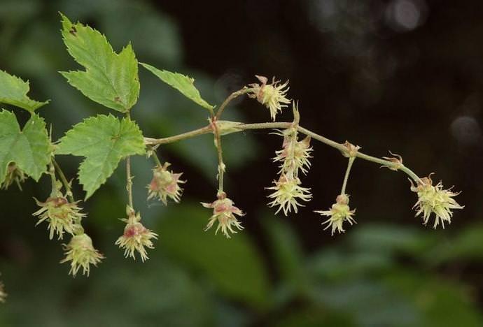 Цветение хмеля продолжается с конца весны и до конца первого летнего месяца
