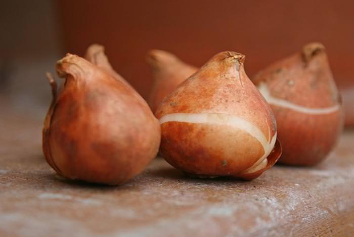 Для того чтобы луковицы тюльпанов хорошо сохранились в зимний период, им нужно создать определенные условия