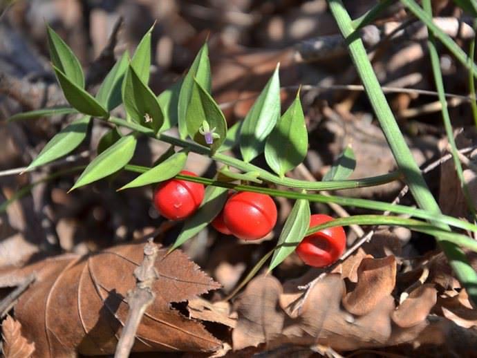 Иглица понтийская (Ruscus aculeatus)