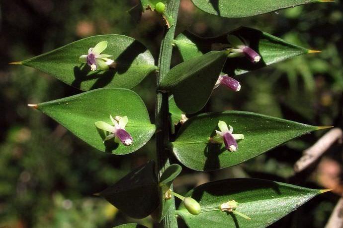 Иглица является растением, которое обладает некоторыми лечебными свойствами