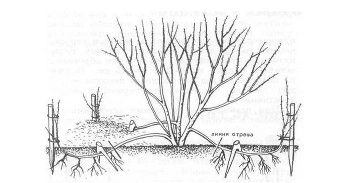 При размножении отводками выбираются хорошо развитые и здоровые однолетние или двухлетние ветви с наличием крепких приростов
