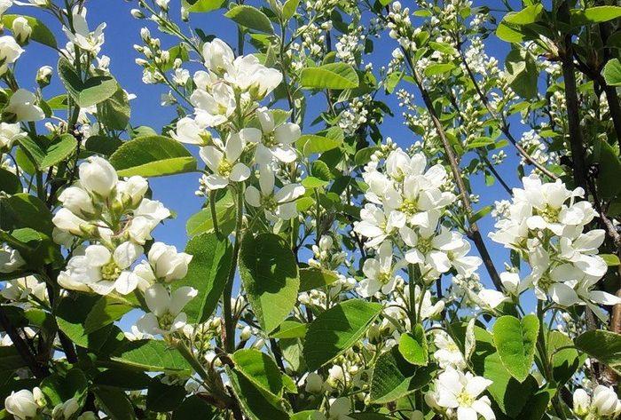 Ирга относится к роду растений из трибы Яблоневые и семейству Розовые