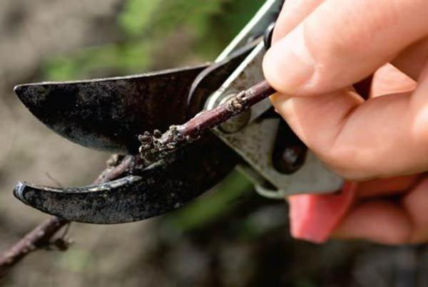 В осенний период обязательно удаляется корневая поросль, а также осуществляется обрезка больных, старых и сухих ветвей
