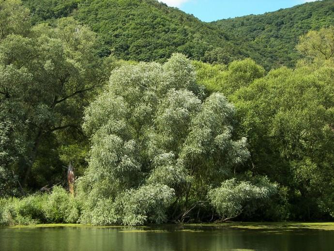 Ива используется для предотвращения эрозии почвы и в целях укрепления склонов