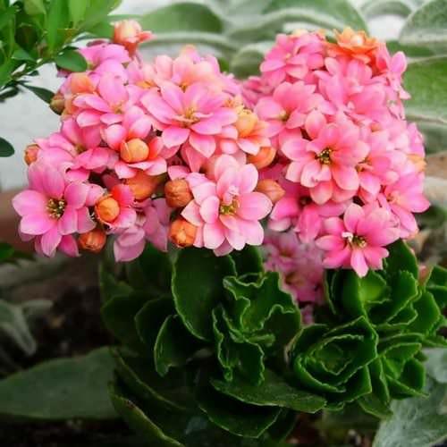 Каланхоэ относится к одному из самых популярных комнатных растений
