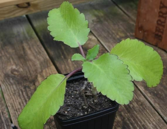 Каланхоэ – очень полезное домашнее растение, которое неприхотливо, не требует особого ухода и поливов, однако обладает массой целебных свойств