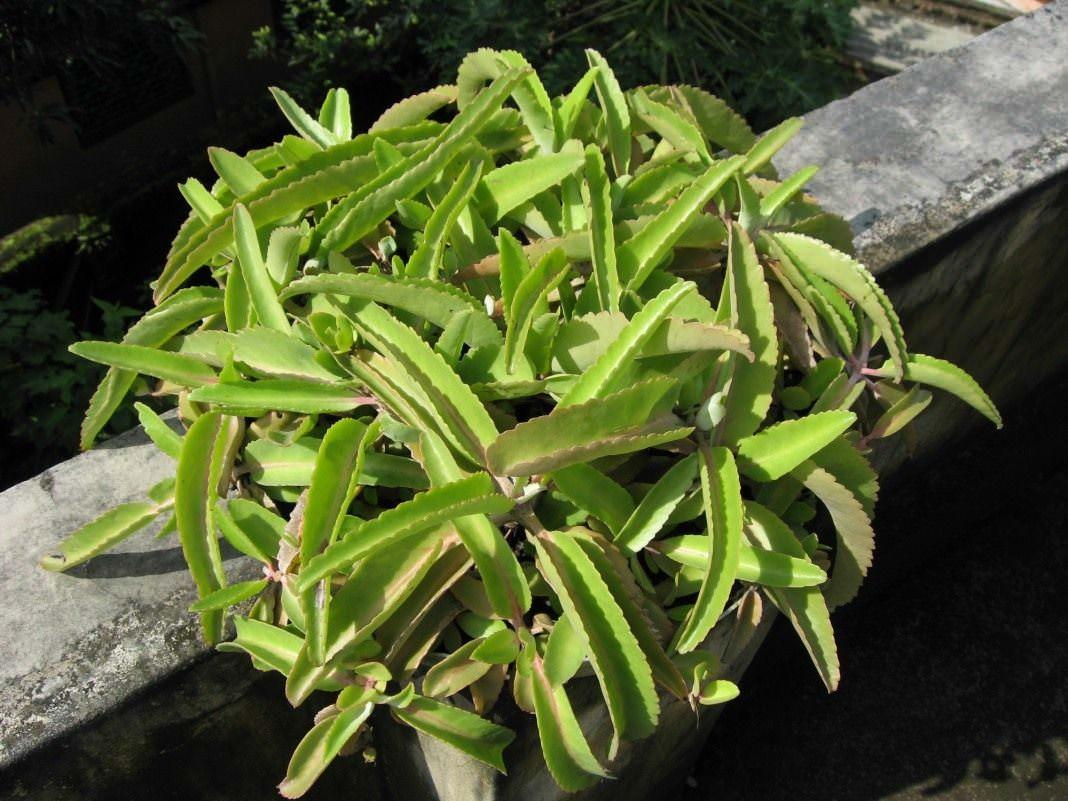 Каланхоэ перистое может расти под прямыми солнечными лучами