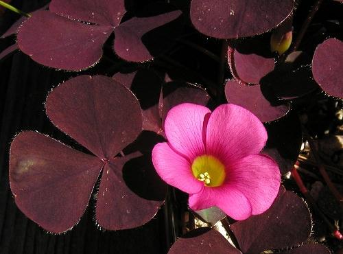 Кислица пурпурная
