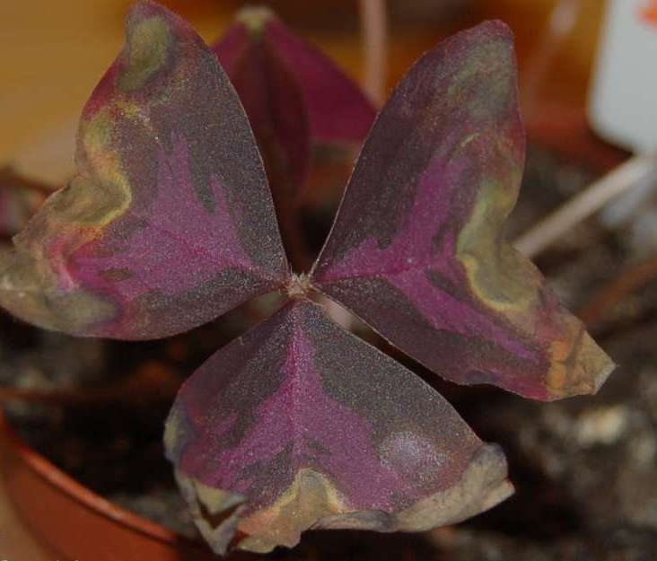 Наиболее распространенной причиной, почему у оксалиса сохнут листья, является недостаточная увлажненность