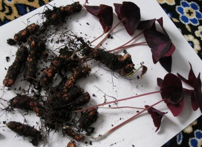 Один из способов размножения кислицы является деление корневищ