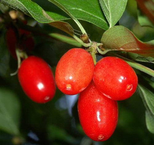 Кизил обыкновенный — кустарниковое растение или небольшое деревце