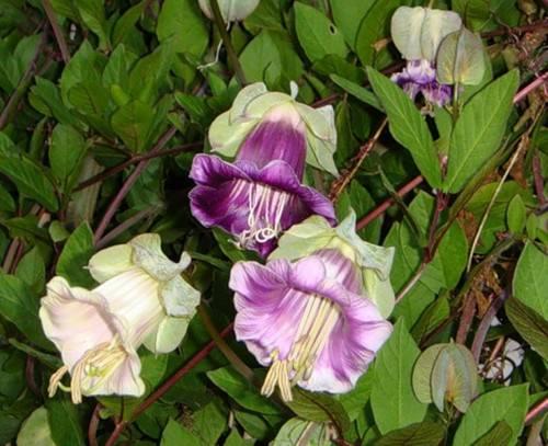 Кобея пользуется спросом у многих цветоводов