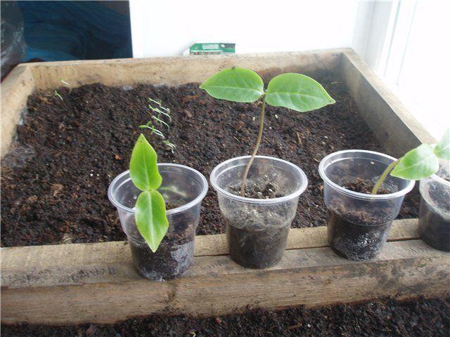 На постоянное место сеянцы кобеи высаживают в последней декаде мая – первой декаде июня