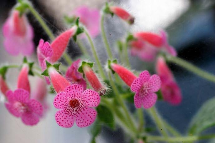Листья красавицы колерии приятной пятилепестковые