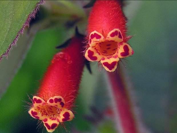 Колерия трубкоцветковая относится экземплярам средней величины