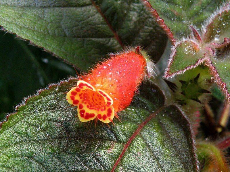 Колерия колосковая – представительница миниатюрных видов растений