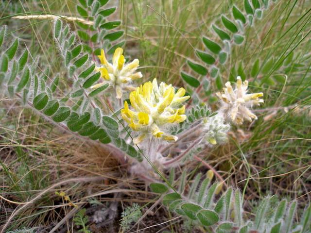 Астрагал перепончатый - травянистое растение семейства бобовых
