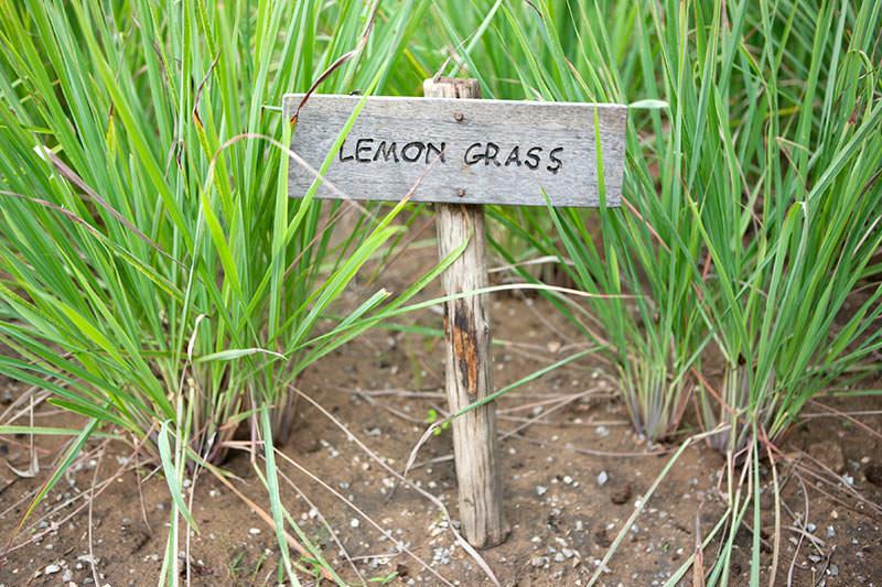 Длинные листья лимонной травы срезают по мере необходимости и перед приходом холодов