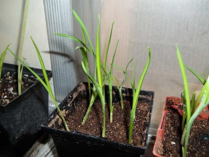 Лемонграс следует выращивать рассадным способом в любое время года