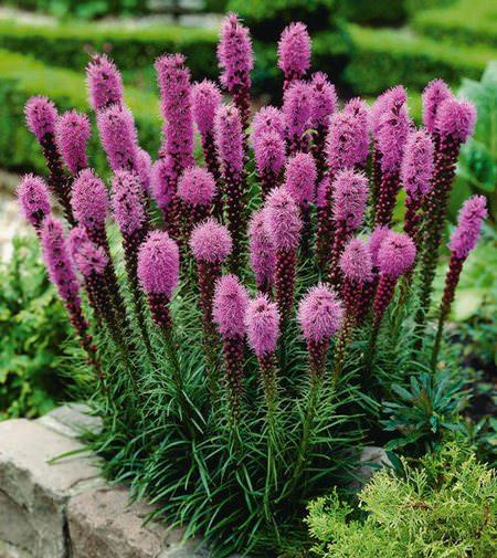 Лиатрис — относится к роду красивоцветущих травянистых многолетников