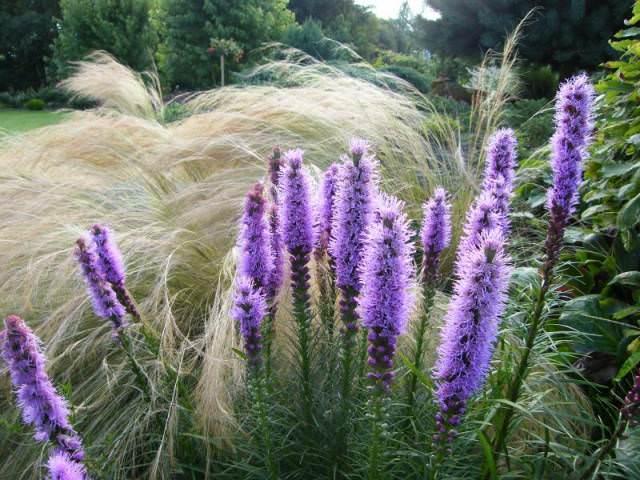 Очень удачно на придомовой территории лиатрисы сочетаются с всевозможными полевыми цветами