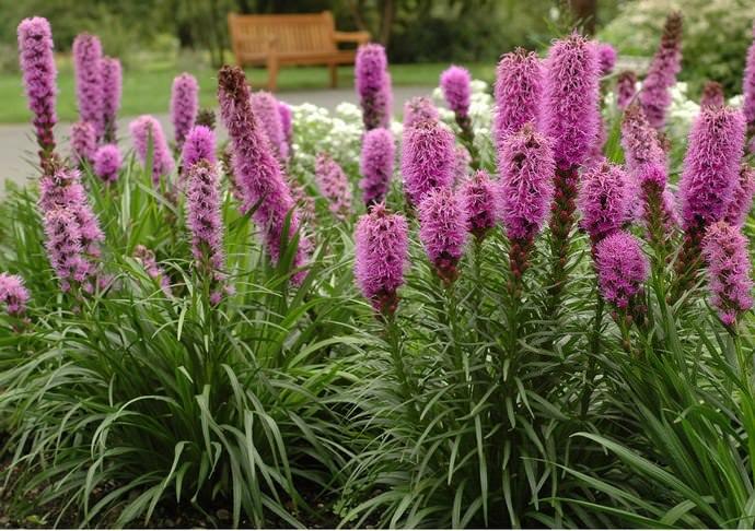 Лиатрис относится к категории зимостойких растений