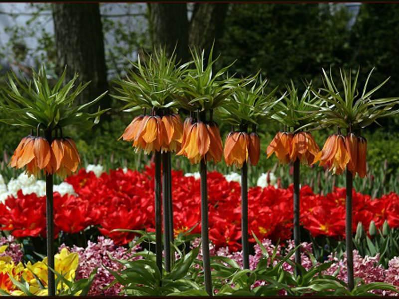 Лилейные, благодаря своим ценным декоративным качествам, нашли широкое применение в садах, парках и приусадебных участках