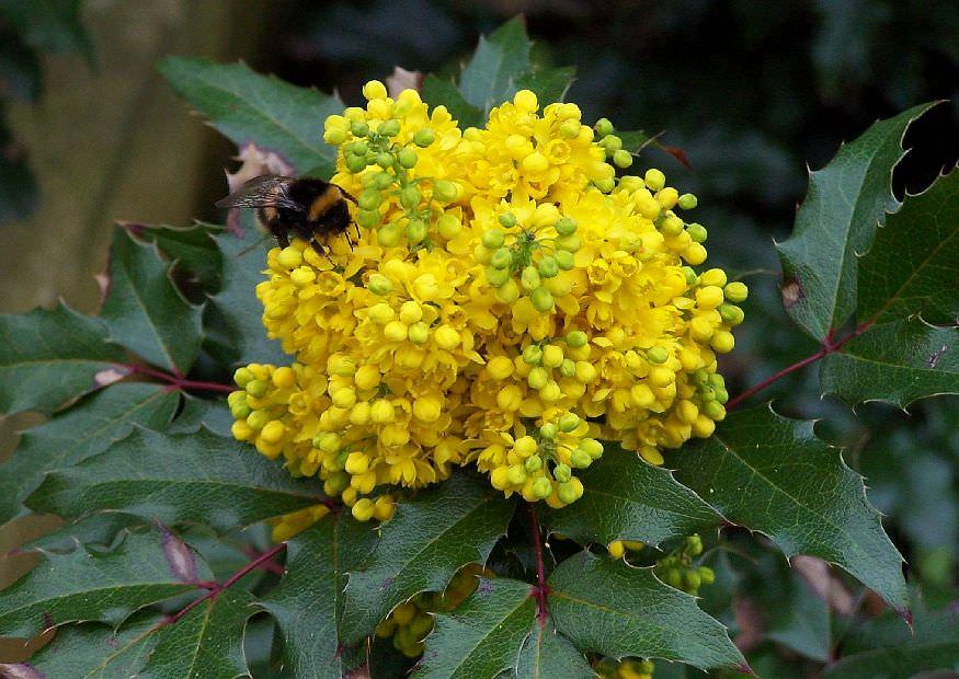 Цветы магонии также богаты полезными веществами, и помогают при лечении подагры, укрепляют иммунитет, повышают тонус