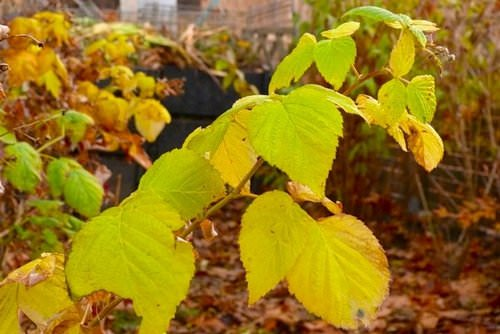 Малина – одна из самых популярных ягодных культур, высаживаемых на садовых участках