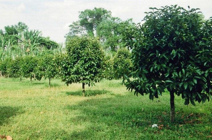 Мангустин является вечнозеленым деревом