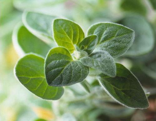 Майоран садовый – культура, отличающаяся приятной пряностью аромата