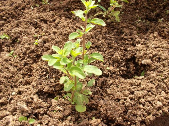Уход за проросшим майораном включает в себя регулярное увлажнение почвы, рыхление земли между грядками и наличие хорошего достаточного освещения