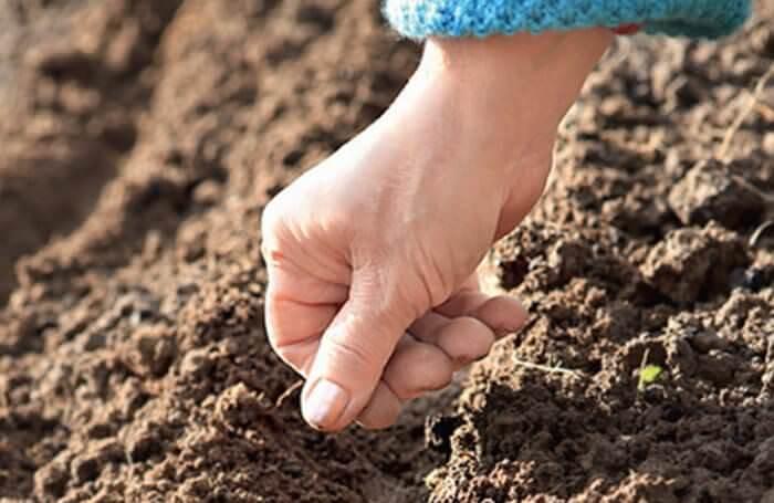 В тёплых климатических условиях посадка майорана производится семенами