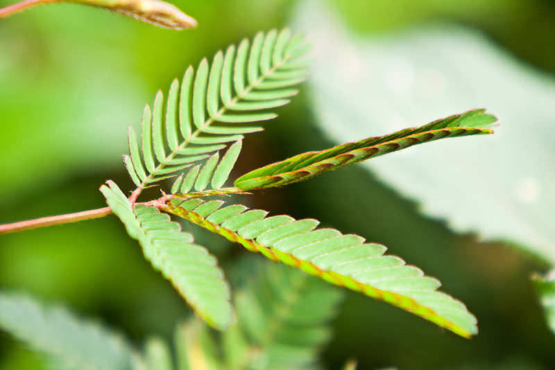 Мимоза стыдливая складывает листья при стрессе, вызванном обезвоживанием или холодом