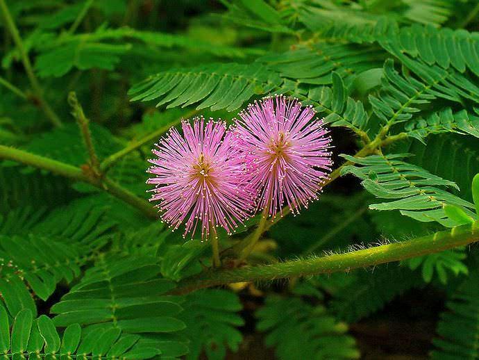 Период цветения мимозы стыдливой может длиться четыре месяца