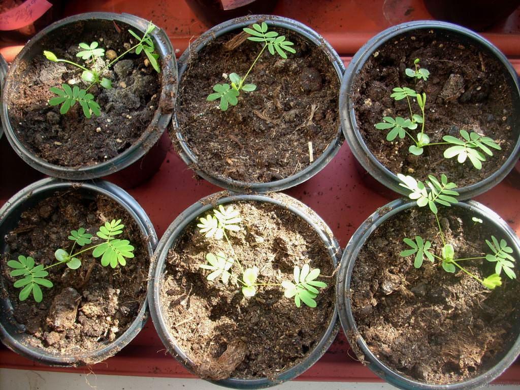 Сеянцы мимозы стыдливой высаживают в горшки с последующей перевалкой после того, как у них образуются два настоящих листочка