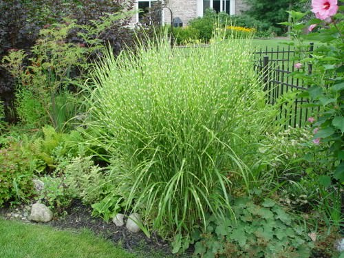 Мискантус — многолетнее травянистое растение из семейства Злаки