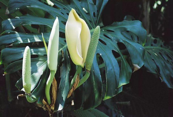 В естественных условиях монстера цветет часто, а вот добиться ее цветения в комнатных условиях практически не возможно