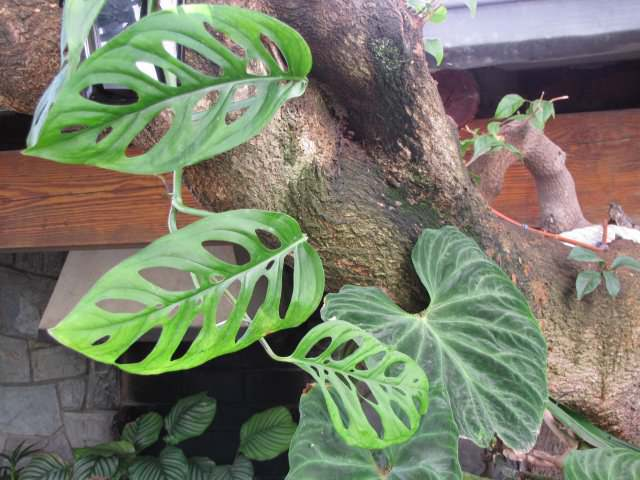 Монстера Адансона (Monstera adansonii)
