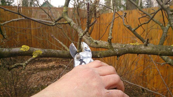 Лучшее время для обрезки груши – ранняя весна