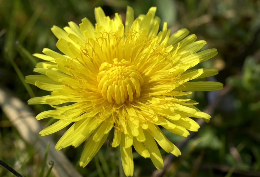 Одуванчик лекарственный – цветок неприхотливый, поэтому растет где угодно
