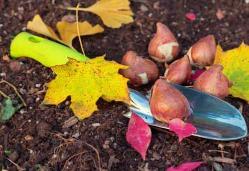 Сажать тюльпаны на грядки лучше осенью