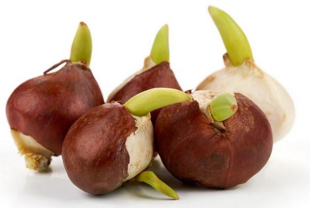 Перед тем, как посадить луковицы на клумбу, их нужно внимательно осмотреть, отобрав лишь неповрежденные, однородные и плотные экземпляры