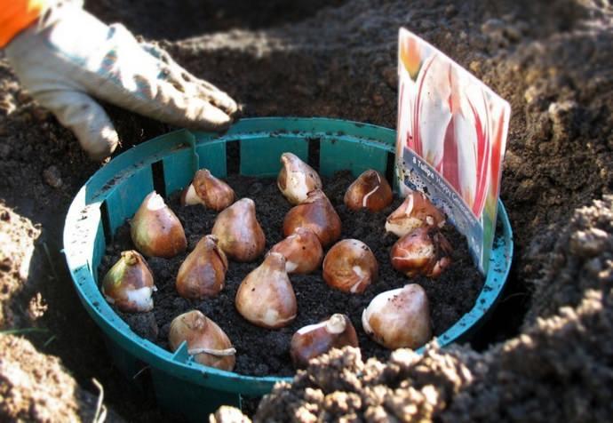 Время высадки цветочных луковиц в открытый грунт зависит от климата местности, и в различных регионах оно не совпадает