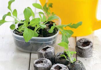 Цветоводы рекомендуют сажать петунию на рассаду согласно датам, указанным в лунном календаре