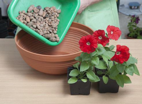 Ампельные петунии желательно сразу пересаживать в емкости для постоянного выращивания