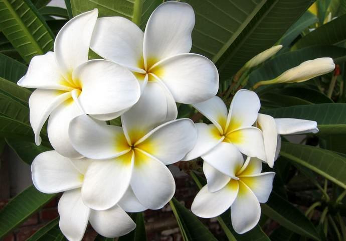 Период цветения плюмерии может продолжаться с ранней весны и до осени